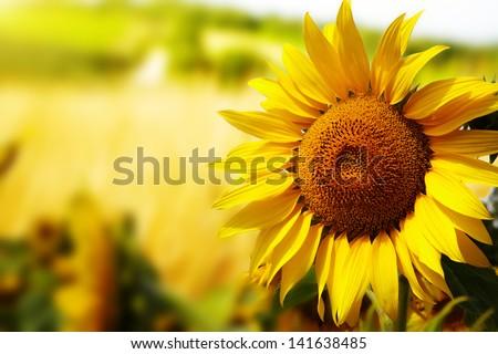 Tuscany sunflowers - stock photo