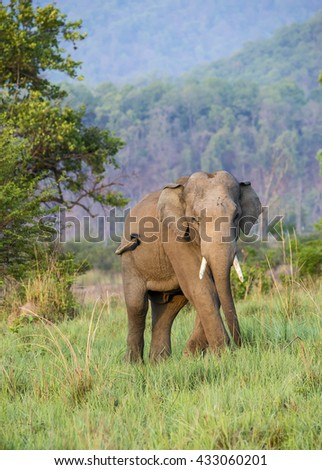 Tusker Elephant in Jim corbett national park
