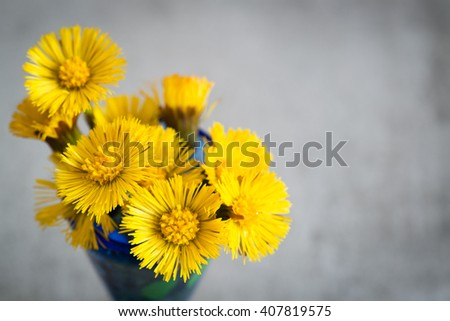 Tussilago Farfara, a yellow spring flower. Also called Foalfoot and Coltsfoot. A sign and symbol of spring season. - stock photo