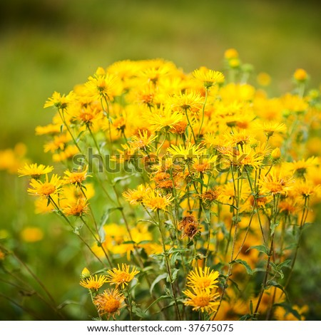 Tussilago farfara (coltsfoot) bush outdoor in a grass field - stock photo