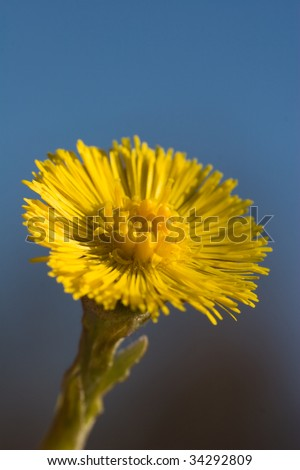 Tussilago farfara, commonly known as Coltsfoot, is a plant in the family Asteraceae. - stock photo