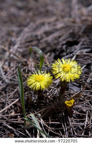 Tussilago farfara - the first flowers of the early spring