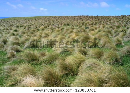 Tussock Grass at Slope Point, Catlins, Southland, New Zealand. Focus is on the front. - stock photo