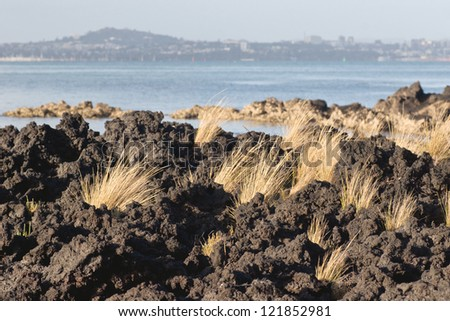Tussock grass breaks through hardened lava rock on Rangitoto Island, Hauraki Gulf, New Zealand. Auckland City lays in the background. - stock photo