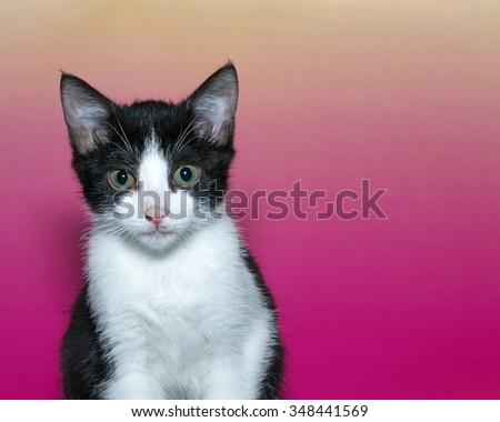 Tuxedo Tabby Kitten portrait on a pink and yellow background. Copy space provided. - stock photo