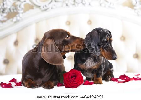tvo dachshund and rose flower - stock photo