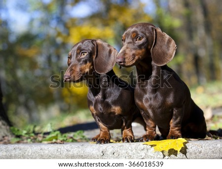 tvo dachshund rabbit dogs on autumn forest with leaves