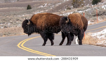 Tw bison in the middle of the road, looking directly at photographer - stock photo