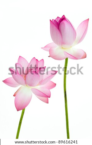 Twain pink water lily flower (lotus) and white background. The lotus flower (water lily) is a important symbol in Asian traditional culture. - stock photo