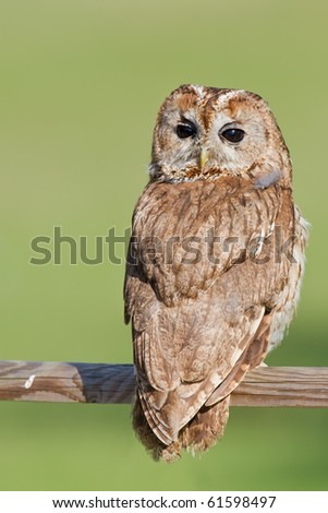Twany brown owl - stock photo