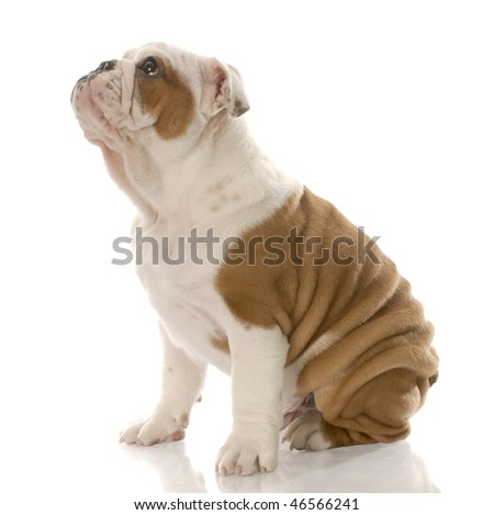 twelve week old english bulldog puppy sitting looking up on white background