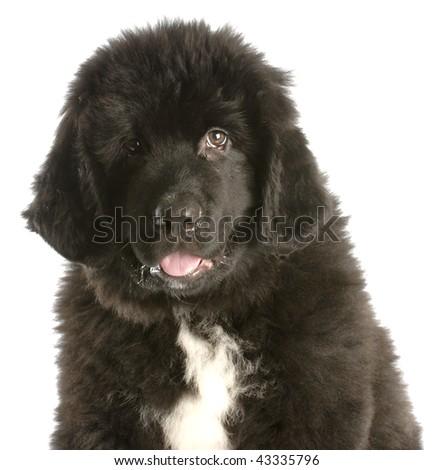 twelve week old newfoundland puppy on white background - stock photo