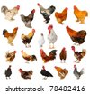 Twenty breeds of cocks on a white background - stock photo