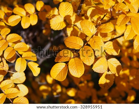 Twig Briar / dog-rose / rose hips with yellow leaves growing on the bush in autumn - stock photo