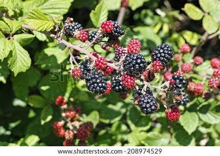 twig laden with fruit of wild blackberry - stock photo