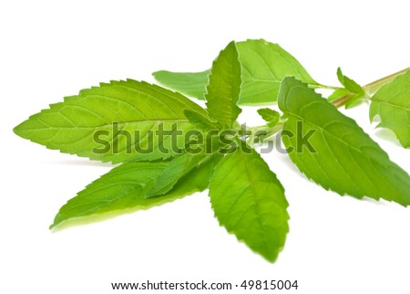 twig mint isolated on white background