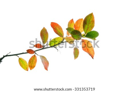 Twig of a bush with multicolored leaves isolated on white - stock photo