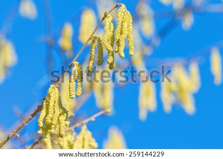 Twig of a flourishing hazel bush during spring with clear blue sky, highly allergenic plant - stock photo