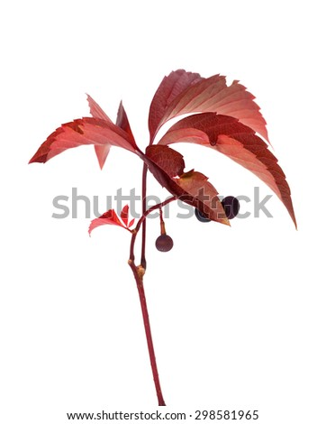 Twig of autumn grapes leaves with berry. Parthenocissus quinquefolia foliage. Isolated on white background. - stock photo
