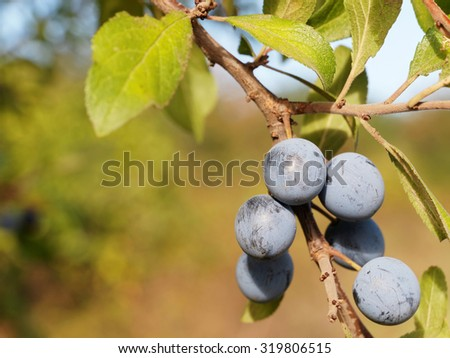Twig of Blackthorn or Sloe berries isolated on white background. Prunus spinosa - stock photo