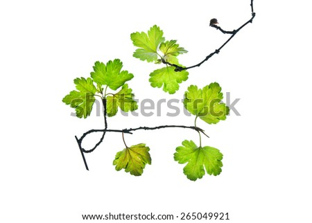 Twig of currant with first small leaves isolated on white    - stock photo