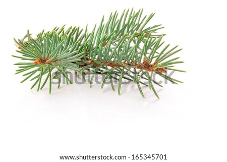Twig of evergreen fir isolated on white - stock photo