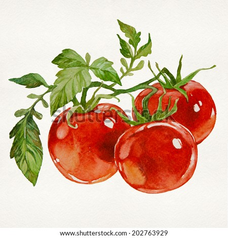Twig of fresh tomatoes isolated on white background. Watercolor picture. - stock photo