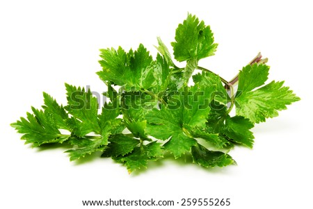 Twig of green parsley isolated on white background - stock photo
