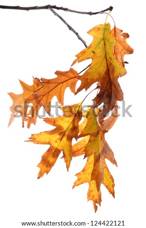 twig of oak with autumn yellow leaves, isolated on white - stock photo