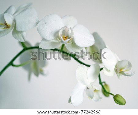 Twig of orchid flowers on light background. Shallow DOF - stock photo