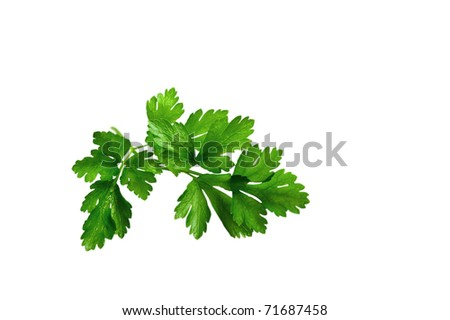 Twig of parsley isolated on the white background. - stock photo