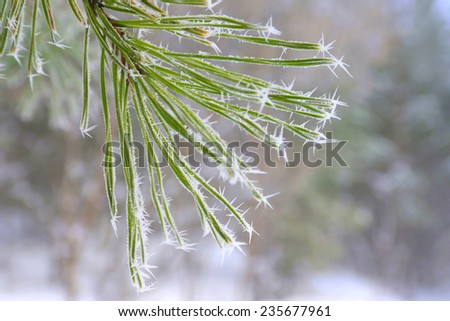 Twig of pine hoar-frost covered, shallow DOF - stock photo