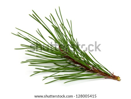 twig of pine tree isolated on white background - stock photo
