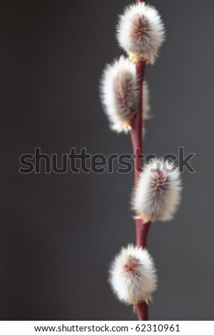 Twig of pussy willow - stock photo