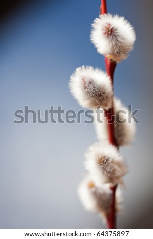 Twig of pussy willow