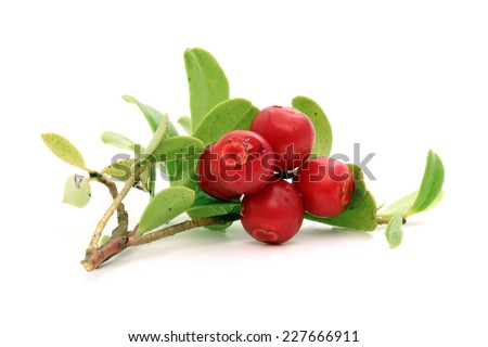 Twig of ripe lingonberry with drops of water - stock photo