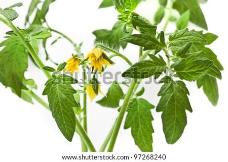 twig of  tomato plant flowering isolated on white background - stock photo
