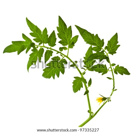 twig of  tomato plant with with flowers isolated on white - stock photo