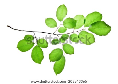 Twig of wild cherry tree with green leaves isolated on white   - stock photo