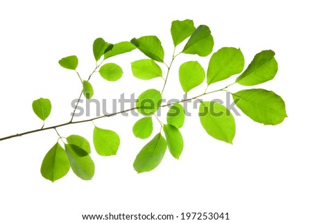 Twig of wild fruit tree with green leaves isolated on white   - stock photo