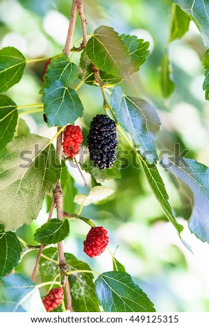 twig with black and red berries on blackberry tree (black mulberry, Morus nigra) close up in sunny day - stock photo