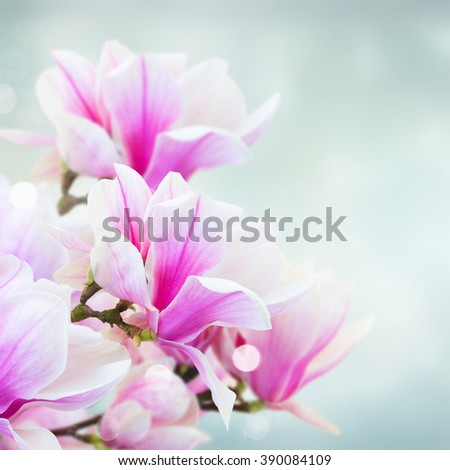 twig with  blooming  pink magnolia   flowers close up over blue background - stock photo