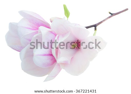 twig with fresh blooming  magnolia   flowers isolated on white background - stock photo