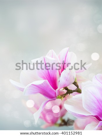 twig with fresh blooming  pink magnolia   flowers close up over blue background - stock photo