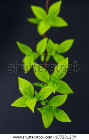 Twig with fresh leaves on a black background - stock photo