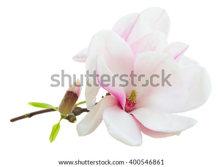 twig with fresh  pink magnolia open  flowers isolated on white background