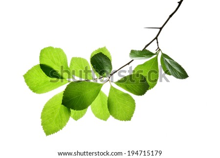 Twig with green jagged leaves isolated on white background  - stock photo