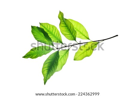 Twig with green leaves isolated on white background, veining is well viewed  - stock photo
