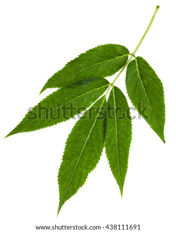 twig with green leaves of red elderberry (red-berried elder) sambucus racemosa isolated on white background - stock photo