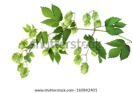 Twig with hop - stock photo